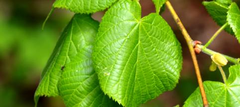 Tilleul grandes feuilles - Tilleul a grandes feuilles ...