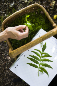 Balades découverte des plantes sauvages comestibles d'été
